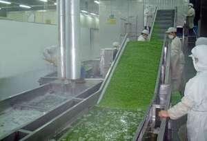 叶菜类加工流水线2